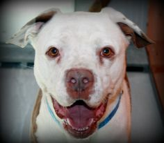 OLLIE-ID#A691815    My name is OLLIE.    I am a neutered male, white and brown American Pit Bull Terrier.    The shelter staff think I am about 2 years and 1 month old.    I have been at the shelter since Dec 30, 2012.