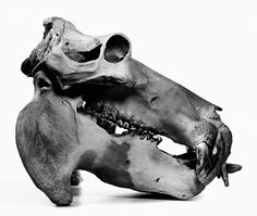 Irving Penn, Hippopotamus, Prague, 1986