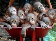 Well, looks like I need to quit my job so I can push a barrel of orangutans to school.