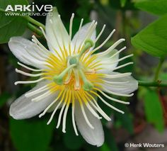 Google Image Result for http://cdn2.arkive.org/media/A4/A49020C2-AD7D-44E8-A1B4-BB7395513283/Presentation.Large/Passion-flower.jpg
