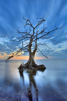 Cypress tree in North Carolina. They can live up to 600 years and flourish on the shallow sounds of the Outer Banks of NC. All Nature, Nature Tree, Amazing Nature, Flowers Nature, Amazing Photography, Landscape Photography, Nature Photography, Photography Portfolio, Scenary Photography