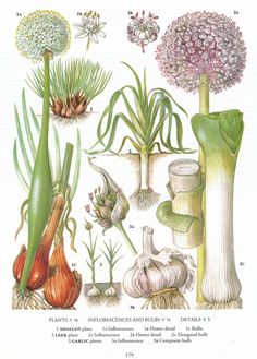retroscan, botanical print, vintage, garlic, shallots,  - free printables. the original may be for sale in my etsy shop.