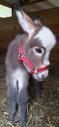 Cute little burro with a great big head, cute fuzzy little sweet baby with red halter. Look at those sweet eyes!