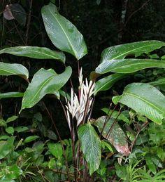 Pleiostachya pruinosa 'Wheat Calathea'