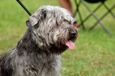 Glen of Imaal Terriers Glen Of Imaal Terrier, Dog Photography, Big Dogs, Dog Photos, Terriers, Cute Cats, Irish, Pretty Cats, Irish Language
