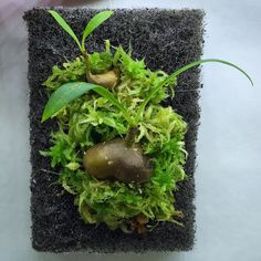 My freshly mounted myrmecodia tuberosa seed grown courtesy of @crown_of_frogs  #antplant #myrmecodia #epiweb #mounted #sphagnum #moss #terrarium #nerd #nature #oddplants #instagood #instagram #instalike #instadaily #carnivorousplants #carnivorousplant #carnivoroustagram #carnivorousplantswag #vivarium #plant #plerd #ant by joes.carnivores