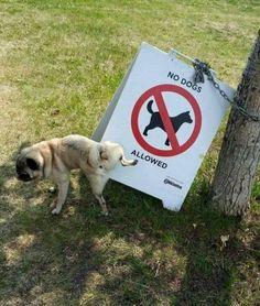A Pug's reply