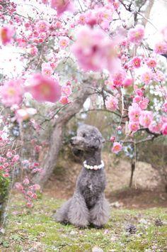 Weeping Plum. http://kahogonote.blog92.fc2.com/blog-entry-1113.html