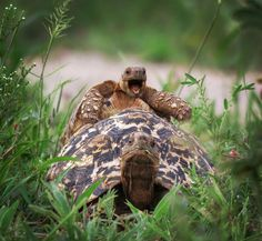 A leopard tortoise jumps on mom in Tarangire national park, Tanzania, 2016 - by Brenden Simonson, USA