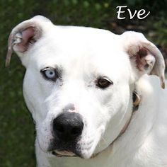 **Currently in foster if your interested in meeting we can arrange that!**Hi! my name is Eve. I was found deserted in the snow trying to protect my baby who luckily has been adopted. The nice officer saw that we were freezing and shaking and brought...