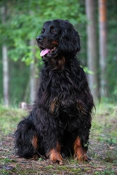 Doc (Gordon Setter) | Already 6 years and the sweetest boy o… | Flickr by Andre De Kesel