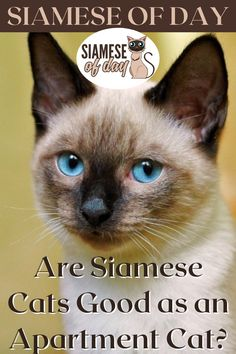 There are methods to make apartment living with a Siamese cat work depending on your scenario. Continue reading if you'd like to learn more about the qualities of this cat breed that are favourable or bad for apartments. #siamese #siameseofday #cats #pets #kittens #Blog #cattips #cathealth #kitten #justcats Siamese Cats, Kittens, Cat Work, Kitten Care, Cat Health, Cat Breeds, Continue Reading, Learning, Pets