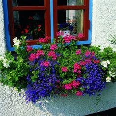 Floradania Marketing: Popular geraniums outdoors and indoors