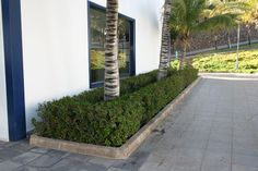 Euphorbia milii grown as hedge at Calle de los Pantalanes in Puerto Calero, Yaiza, Lanzarote, Canary Islands