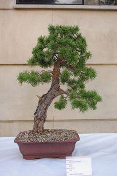 Pino sylvestris bonsai