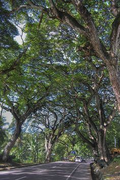 These acacia trees that line the sides of the road going to Carcar, Cebu are said to be more than a century old.