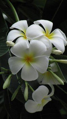 White - Flowers - Plumeria or Frangipani flowers on black background. Tropical Flowers, Plumeria Flowers, Hawaiian Flowers, Exotic Flowers, Amazing Flowers, White Flowers, Beautiful Flowers, Plumeria Tree, Flowers Uk
