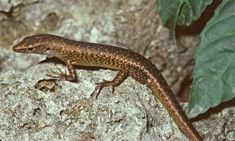 Australia confirms extinction of 13 more species, including first reptile since colonisation | Extinct wildlife | The Guardian Reptiles, Mammals, Wilderness Society, Habitat Destruction, Christmas Island, Wildlife Conservation, Australia Living, The Guardian, Predator
