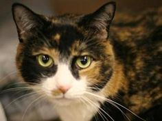 JESSIE is an adoptable American Shorthair Cat in New York, NY. A volunteer writes: Have you ever seen a cat as breathtaking as Jessie? She's like a piece of art, with her gorgeous green eyes and lusci...