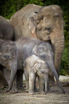 Save the elephants. Elephants Photos, Save The Elephants, Baby Elephants, Birds Photos, Baby Hippo, Asian Elephant, Elephant Love, Elephant Family, Elephant Nursery