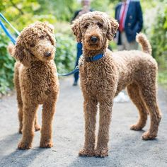Razzmatazz & Penny, Standard Poodles (1 & 2 y/o), Central Park, New York, NY