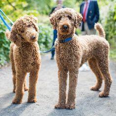 Razzmatazz & Penny, Standard Poodles (1 & 2 y/o), Central Park, New York, NY