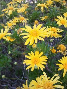 Varias margaritas Margaritas, Country, Plants, Flowers