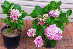 Propagation of Hydrangeas from Cuttings, Layering, Root Division