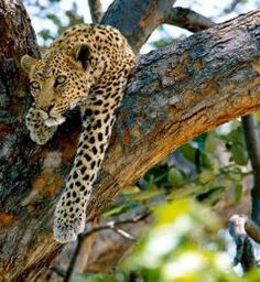 Leopard stunning botswana safari - I have one of these! Animals Beautiful, Cute Animals, Safari Holidays, African Countries, African Safari, Pyrography, A Boutique, In This World, Cute Cats
