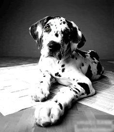 Harlequin Great Dane puppy