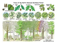 Deciduous Forests - trees of the deciduous forest