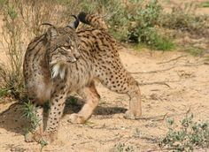 The Iberian lynx, (Lynx pardinus), is a critically endangered species of felid native to the Iberian Peninsula in Southern Europe. It is one of the most endangered cat species in the world. According to the conservation group SOS Lynx, if the Iberian lynx died out, it would be the first feline species to become extinct since prehistoric times.