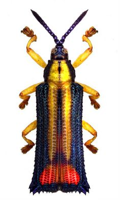 Nice octoplata - Anita Smith Home Weird Insects, Cool Insects, Bugs And Insects, Beetle Insect, Beetle Bug, Insect Art, Insect Orders, Mantis Religiosa, Butterflies