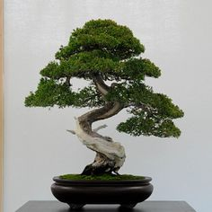 Juniper bonsai. Shimpaku grafted on prostrata (or San Jose) juniper