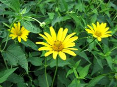 Heliopsis helianthoides (L.) Sweet  Smooth oxeye, Oxeye sunflower, False sunflower (not sure if NJ native)