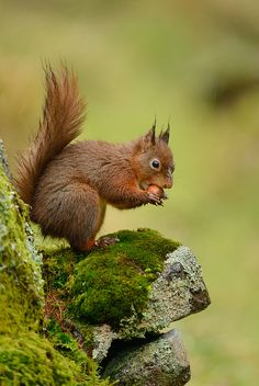 Red Squirrel~by Benjamin Joseph Andrew on Flickr.