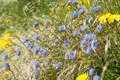 Vuorimunkki - Jasione montana vuorimunkki kukka kukat lila violetti luonto heinä…
