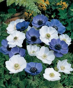 Look what I found on #zulily! Blue & White Windflower Bulb & Planter - Set of 180 by Michigan Bulb Company #zulilyfinds