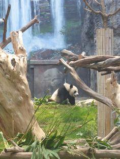 Pavilhão do Panda Gigante de Macau © Viaje Comigo Macau, Dubai, Backpacking Asia, We Are The World, Asia Girl, Panda Bear, Asia Travel, Southeast Asia, Geography