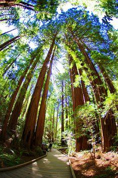 Muir Woods National Monument, Marin County, California (I love Muir Woods!)