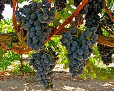 Dolcetto:  Ripken Vineyards; Mokelumne River AVA