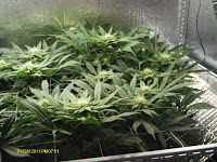 Grow Lights for Stealth and Indoor Growing! Super Powerful Grow Lights!: Early Flowering Stages With the best CFL Grow Ligh...