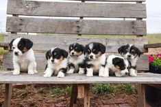 Corgipoo Puppies Fall Litter - Oswald Vineyard Corgi Poodle, Corgi Mix, Other Ways To Say, New Tricks, This Is Us, Puppies, Fall, Dogs, Cute