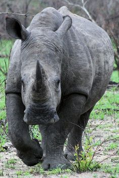 Africa | Rhino. Inyati National Park, South Africa | © Stephen Mawby