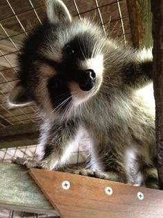 Baby Raccoon I Love Animals Cute Baby Animals Cute Baby Raccoon, Cute Raccoon, Raccoon Paws, Cute Baby Animals, Animals And Pets, Funny Animals, Strange Animals, Wild Animals, Funny Horses