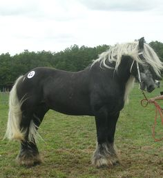 The Poitevin or Mulassier, a French draft breed