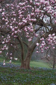 I need a magnolia tree!! ??? (Beauty Landscapes Spring)