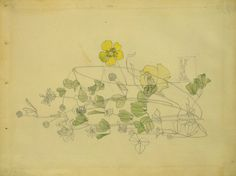 Yellow Clover Charles Rennie Mackintosh 1901 Pencil and watercolour Museum no. E.844-1968