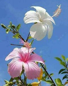 Hibiscus !!