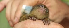 WATCH: This Creature Loves Her Toothbrush More Than Anything - A sweet Pygmy Marmoset that is just too cute!!